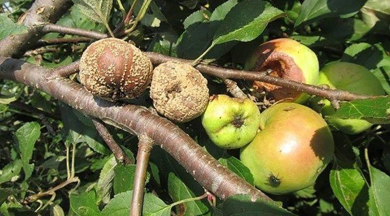 Появление гнилых плодов на яблоне: причины и способы устранения проблемы
