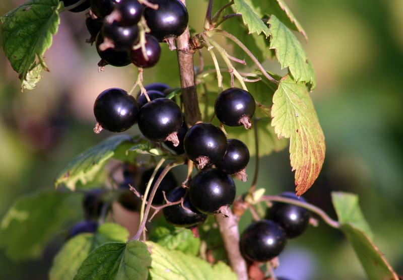 Появились ягоды на смородине, но атаковала тля. Как избавиться от вредителей?