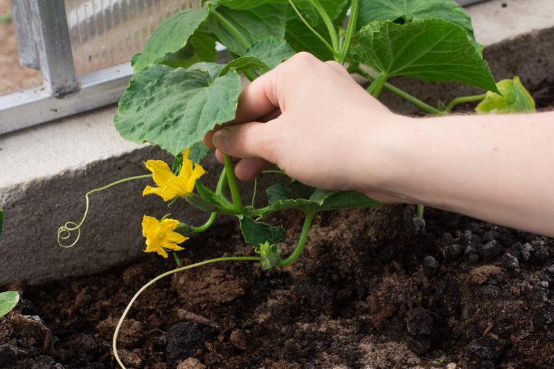 Убираем пустоцветы с огурцов. Почему нет завязей?