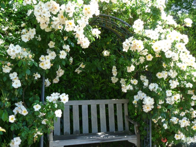 Плетистые розы: секреты посадки, зимовки и формовки