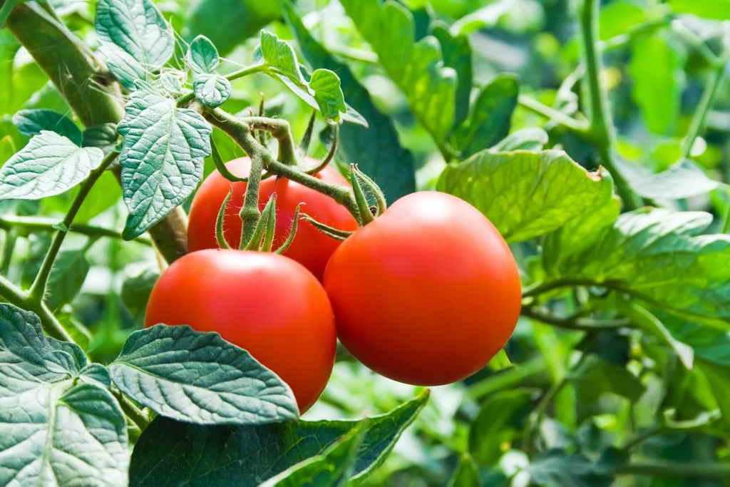 Выращиваем помидоры самых ранних сортов