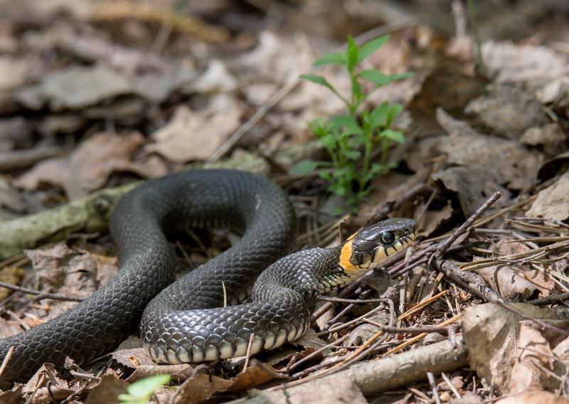 Змеи в огороде или на садовом участке: как избавиться от вредителей