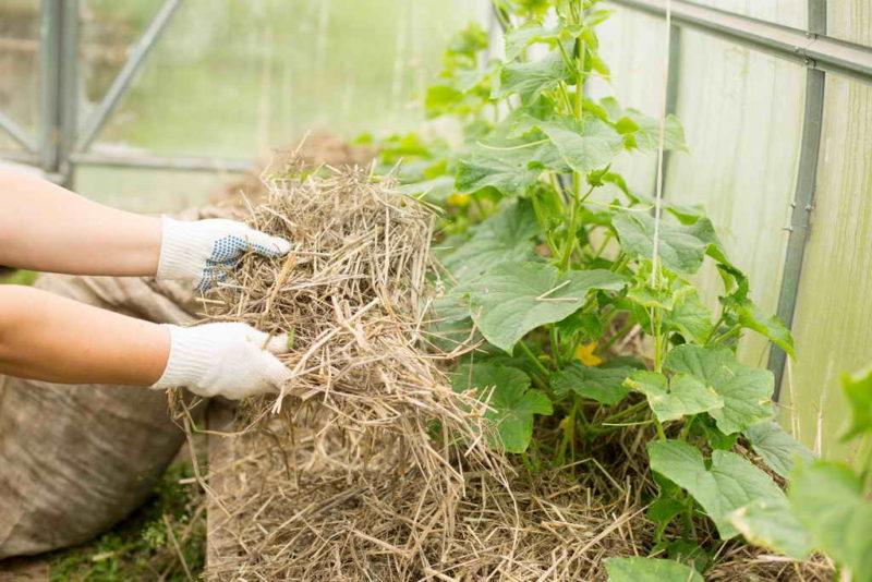 Как продлить плодоношение огурцов до наступления заморозков