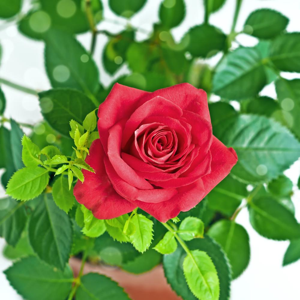 Если у розы стали желтеть листья — что делать в этом случае