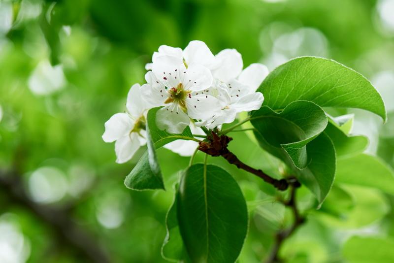 Основные причины скручивания листьев у черешни