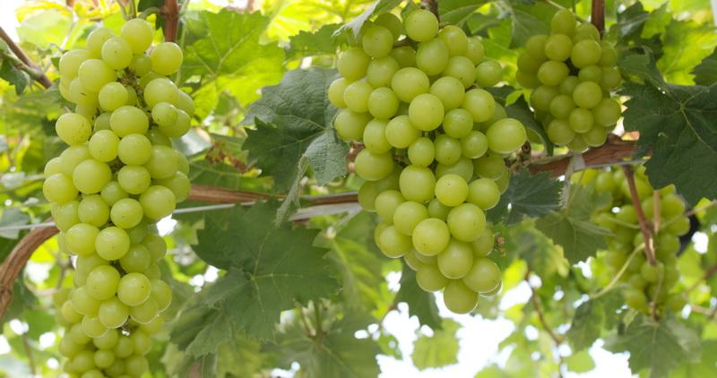 Как правильно укрыть виноград на зиму — способы, проверенные годами