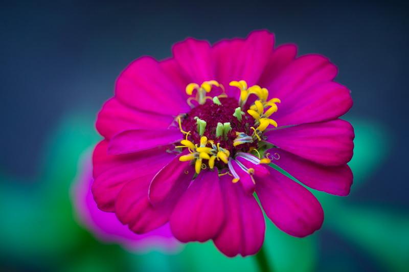 Как правильно высаживать семена циннии: особенности, сроки посадки