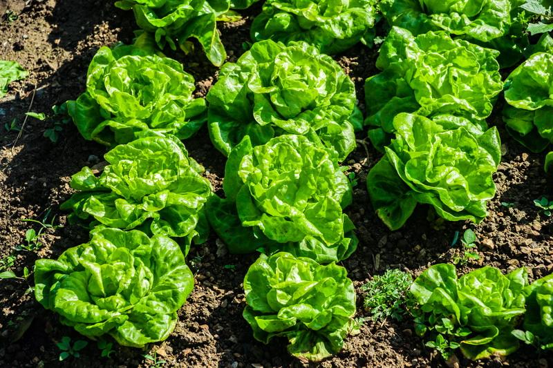 Как вырастить китайскую капусту у себя на даче