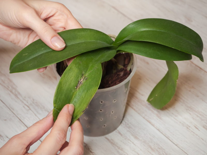 Распространенные заболевания орхидеи Фаленопсис