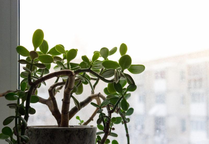 Как правильно ухаживать за денежным деревом