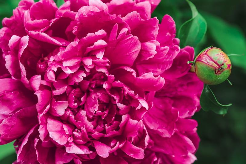 Подкормка пионов для здорового и обильного цветения