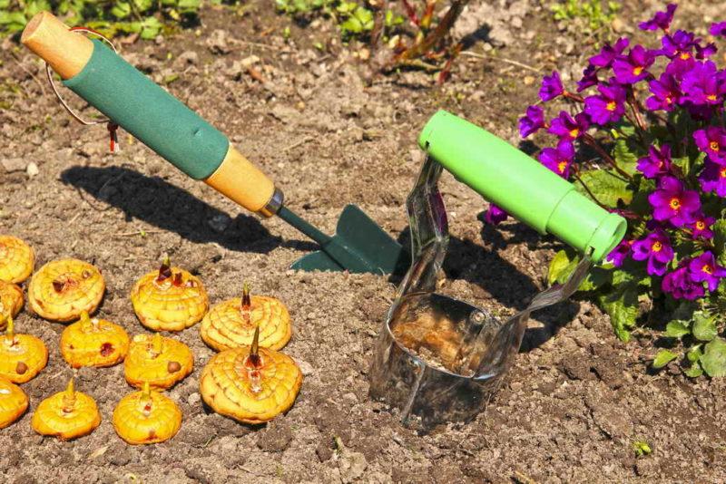 Несколько важных секретов правильной посадки гладиолусов весной