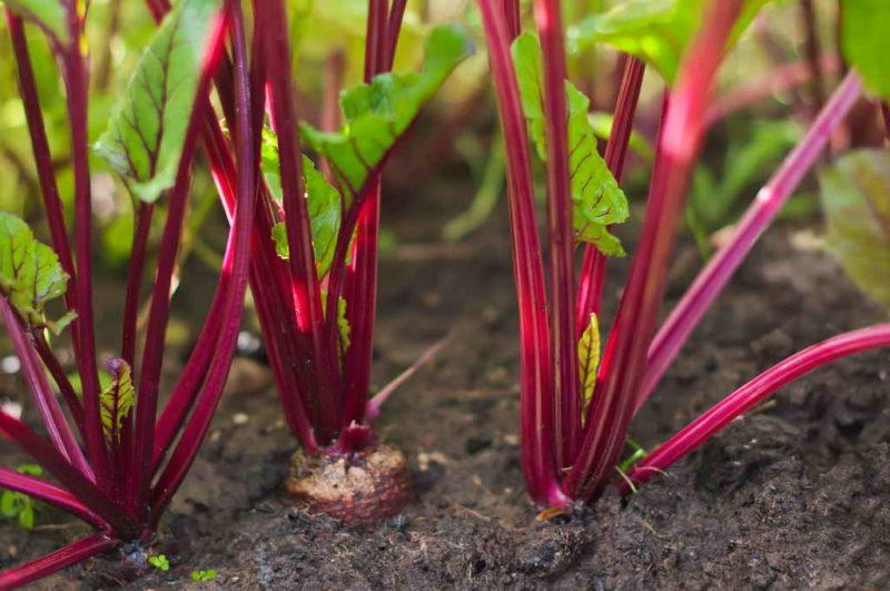 Что поможет вырастить красивую и вкусную свеклу — полезные подкормки