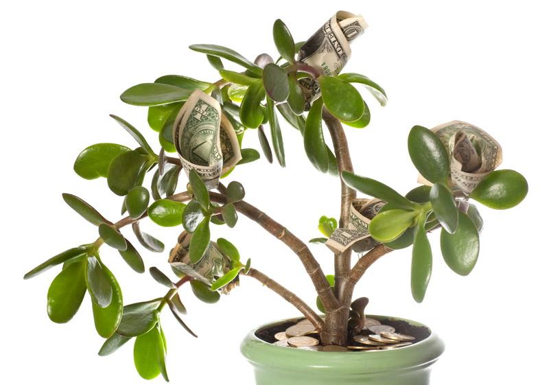 Денежное дерево: советы по уходу и лечению заболеваний толстянки