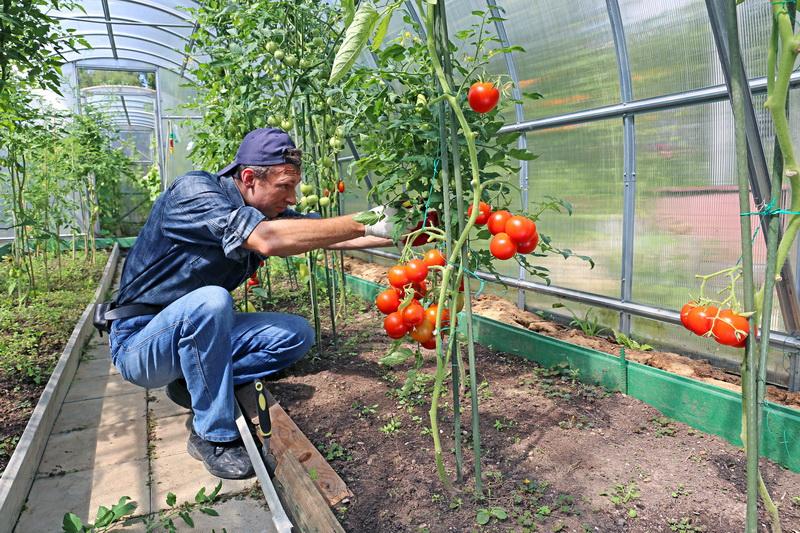 Как подвязать помидоры — 5 проверенных способов