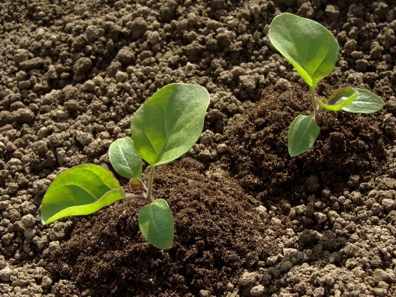 Баклажаны в теплице: все, от посева до сбора урожая