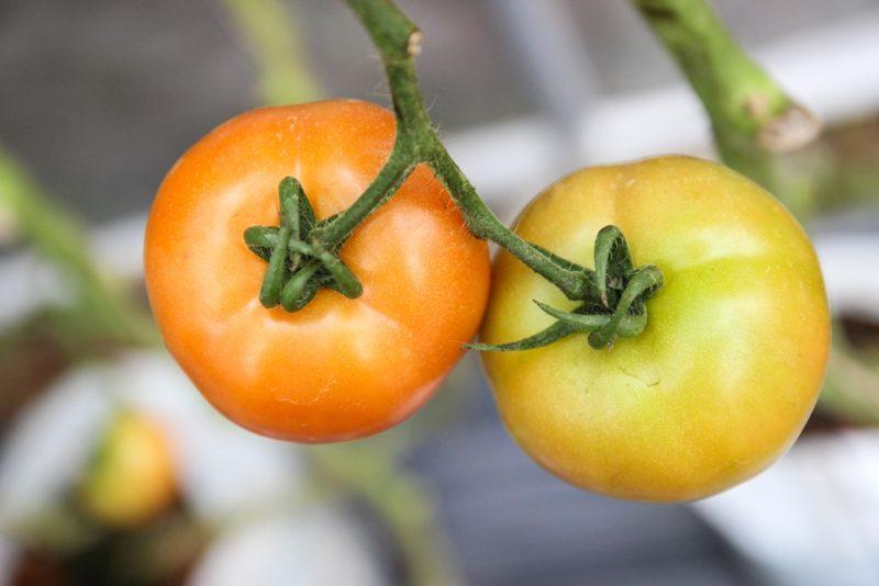 Каким сортам помидоров не нужно пасынкование