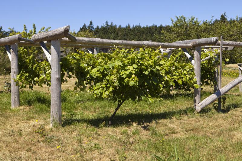 Железный и медный купорос для обработки виноградника в осенний период