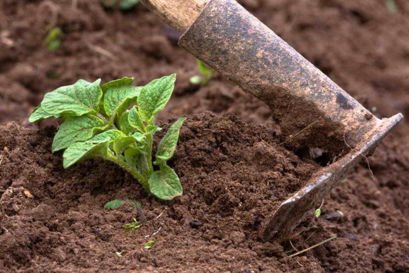 Как правильно окучивать картофель и нужно ли это делать