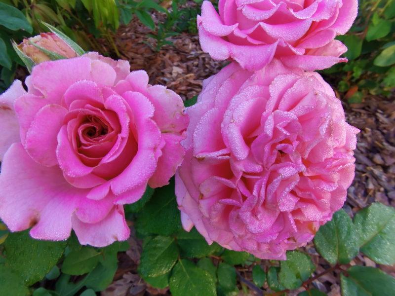 Как добиться пышного цветения розы: правила подкормки весной и летом