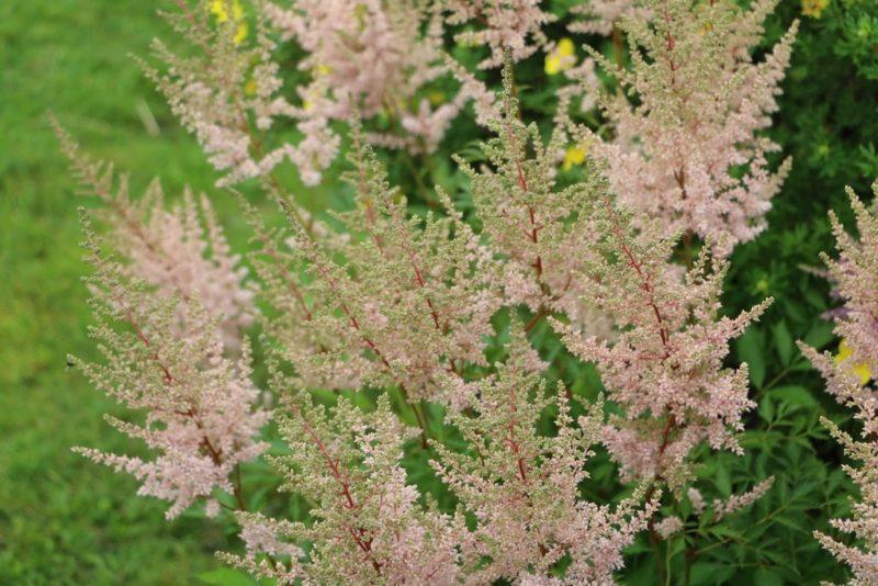 Неприхотливые цветы для начинающих дачников