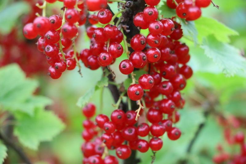 Как организовать уход за кустами смородины после сбора урожая: необходимые мероприятия