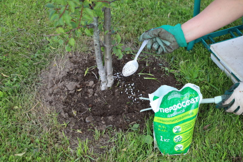 Подкормка плодовых деревьев в августе