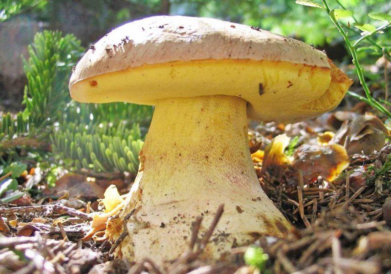 Полубелый гриб, он же желтый боровик