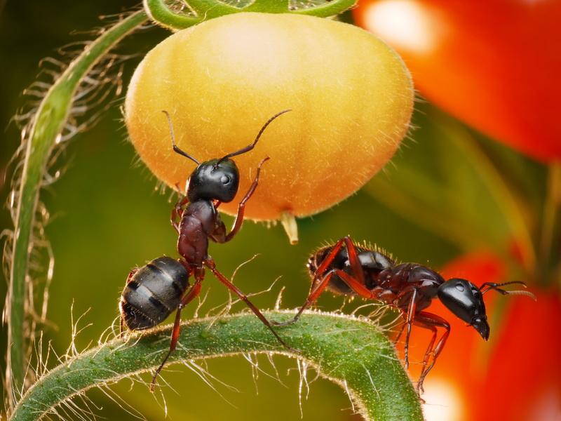 Манная крупа — простое и эффективное средство в борьбе с муравьями