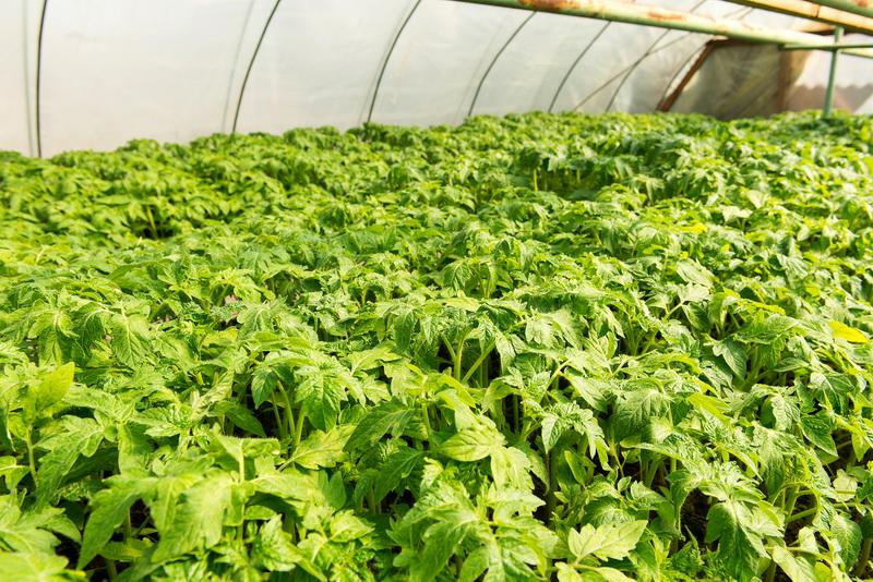Использование ботвы томатов с пользой для садово-огородных культур