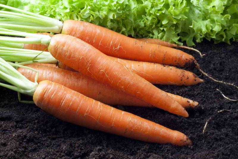 Как понять, что морковь пора выкапывать и отправлять на хранение