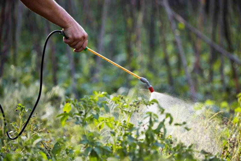 Горчица и уксус как средства от колорадского жука