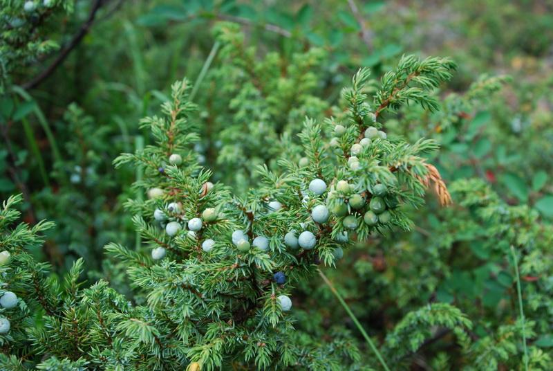 Все о можжевельнике: виды, полезные свойства и как вырастить на дачном участке