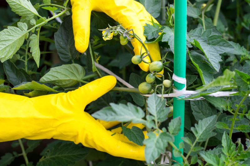 Подвязка помидоров в открытом грунте: делаем это правильно