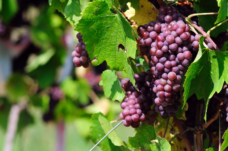 Как правильно подготовить виноград в августе — основные процедуры