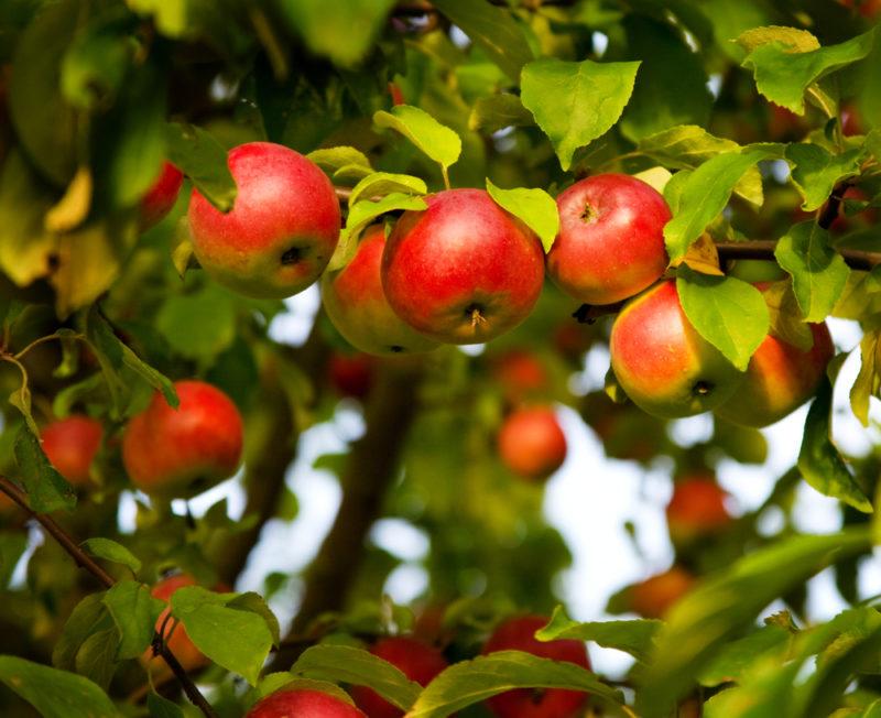 Августовские подкормки плодовых культур: что вносить, как и когда
