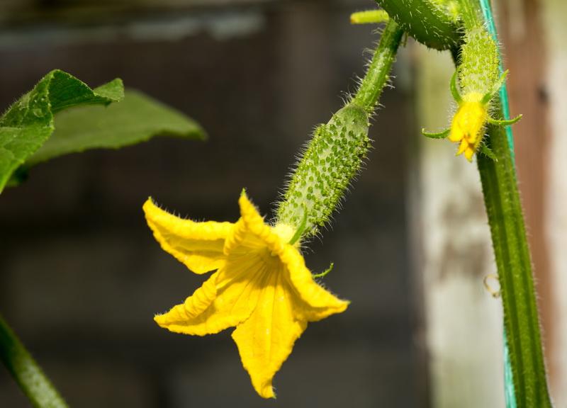 Польза дрожжей при выращивании огурцов