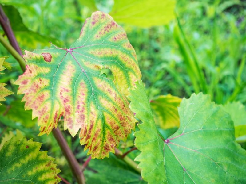 Заболевания винограда: как распознать и избавиться от них