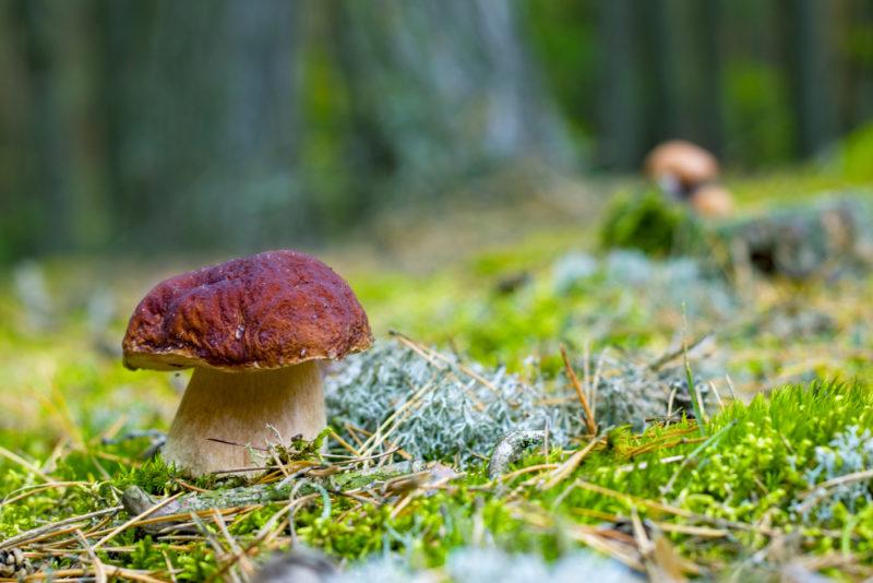 Как отличить белый гриб от ложного: описания основных видов