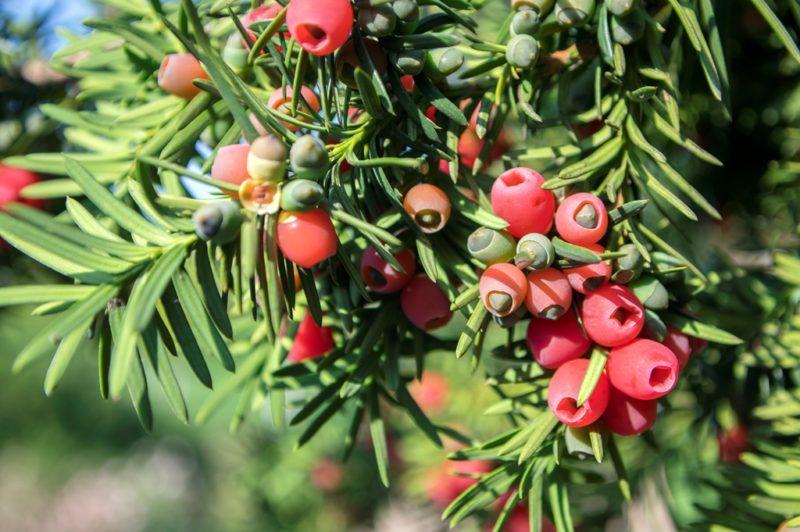 Особенности и секреты выращивания различных видов тиса