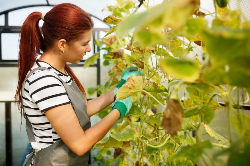Какие листья у огурцов необходимо удалять: правильная технология обрезки