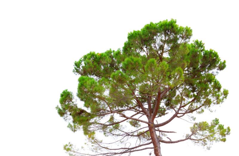 Сосны на дачном участке: виды, польза и особенности выращивания