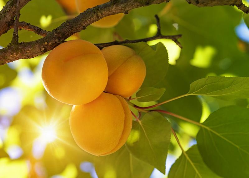 Как вылечить абрикос и прогнать с него вредителей