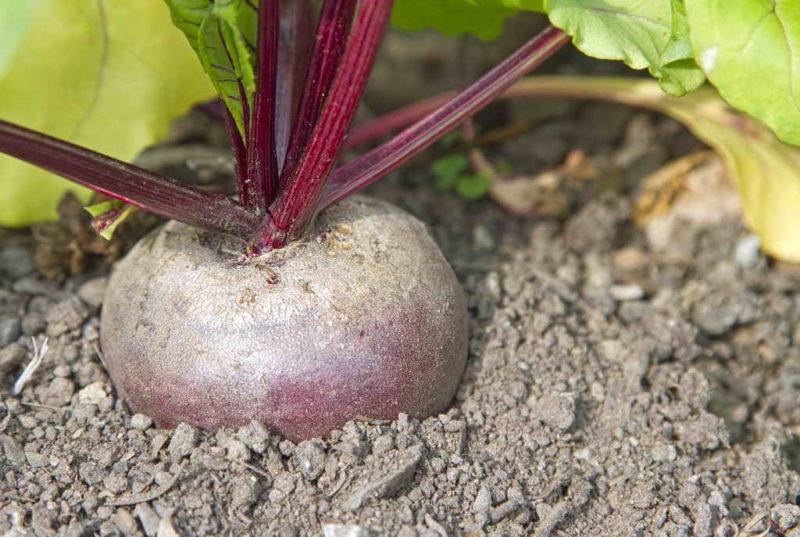 Применение солевого раствора для выращивания сахаристых корнеплодов свеклы