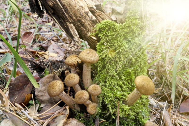 Как не ошибиться в грибах: съедобные виды опят