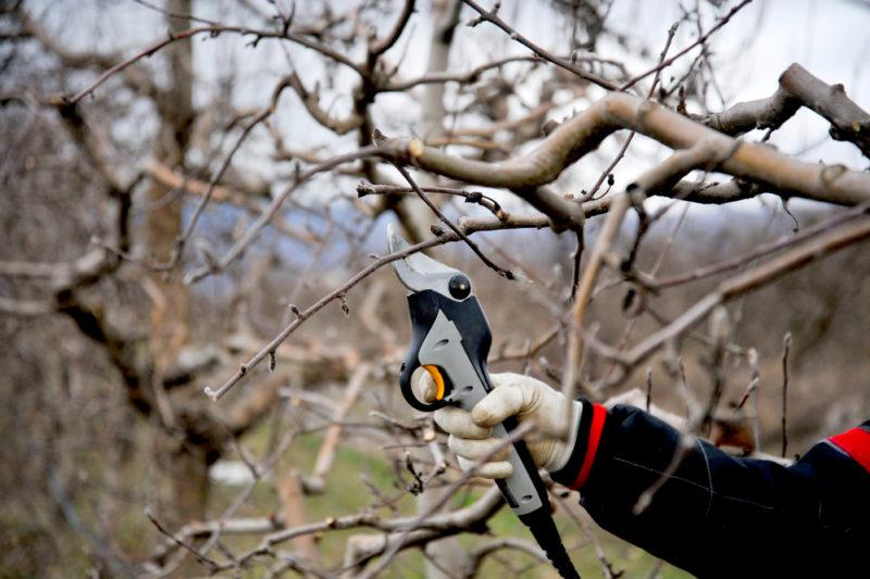 Виды и правила обрезки деревьев