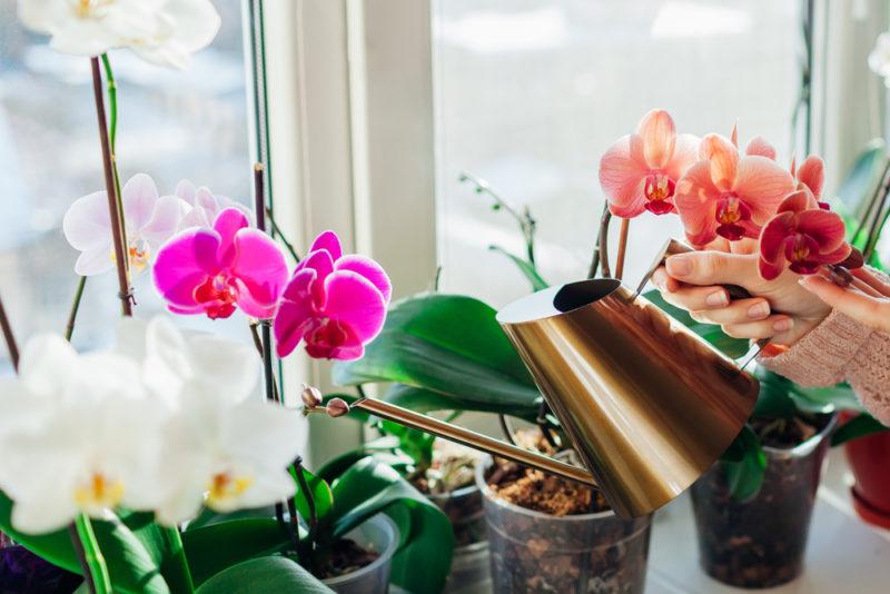 Поливаем орхидею одним из трех способов, чтобы она цвела круглый год