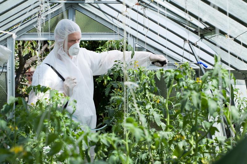 Как бороться с фитофторозом на помидорах в теплице