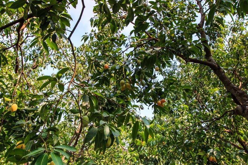 Осенняя обрезка персикового дерева