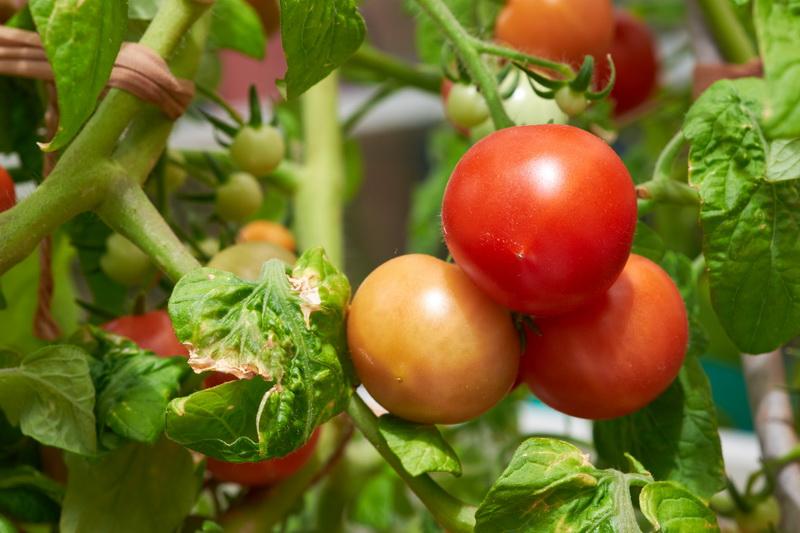 Сибирский «гость» — помидор Боец (Буян), самый неприхотливый из всех томатов
